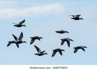 Flying Common Eiders, Somateria Molissima, in formation by migration in the Baltic Sea in Sweden