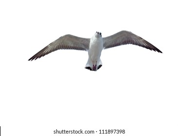 flying common seagull isolated on white background