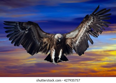 Flying  condor  in sunset sky