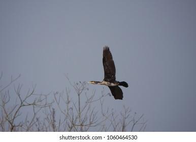 flying cormorant bird over trees