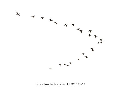 Flying Cormorants, Phalacrocorax carbo, isolated on white