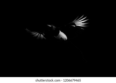 Flying crow. Bird: Eurasian Magpie. Pica pica. Darkness artistic background.