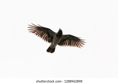 flying crow isolated on white background