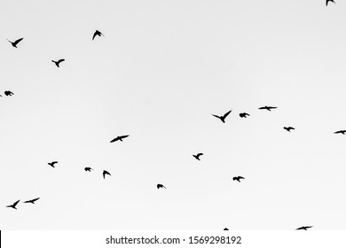 Flying crows on a clear sky, black and white look