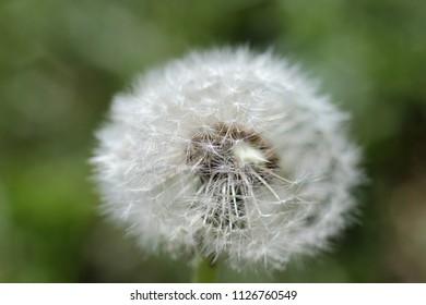 flying dandelion flower on green background