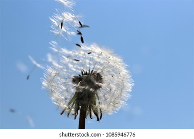 Flying Dandilion seeds with a clear blue sky