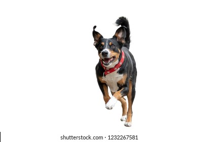 flying dog with white background - isolated, Appenzeller Mountain Dog