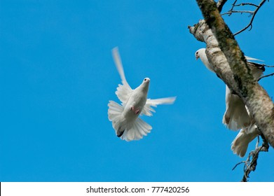 Flying dove and two doves perched on a tree branch