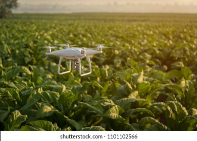 Flying drone above the wheat field Tobacco farm