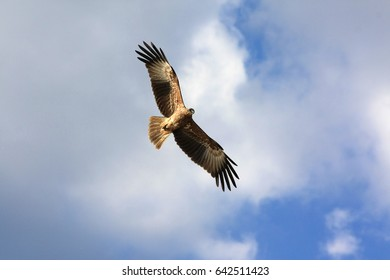 Flying eagle, Sri Lanka