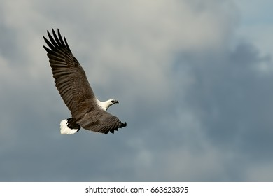 Flying eagle with wide open wings