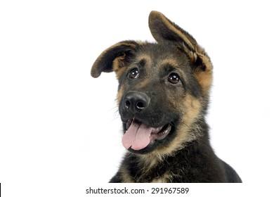 flying ears puppy german shepherd portrait  in a white photo studio