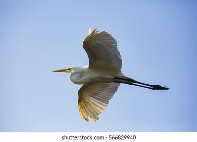a flying egret