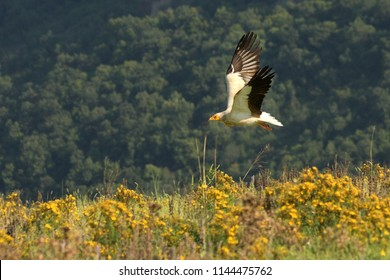 Flying Egyptian Vulture (Neophron percnopterus) over the rocks with green background.