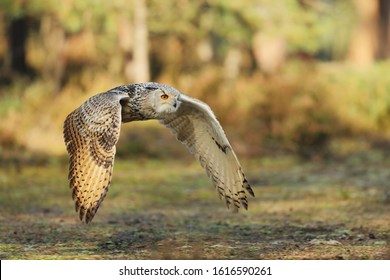 Flying Eurasian Eagle owl with open wings in forest during autumn. Wildlife Russia. Owl in nature habitat. Bird action scene. Bubo bubo