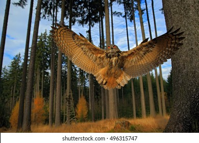 Flying Eurasian Eagle Owl with open wings in forest habitat, wide angle lens photo.