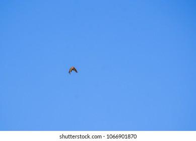 Flying Eurasian skylark.