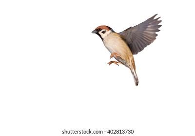Flying Eurasian tree sparrow isolated on white (Passer montanus)