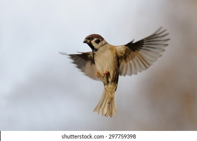 Flying Eurasian Tree Sparrow (Passer montanus) in autumn. Moscow region, Russia