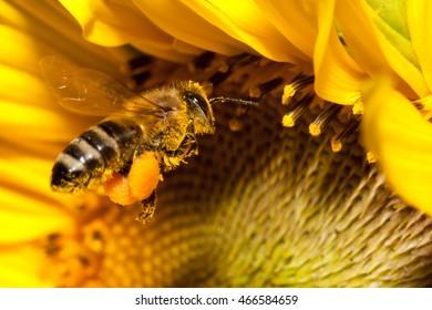 Flying european honey bee