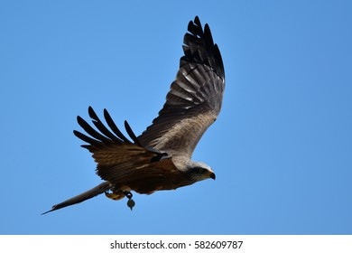 flying falcon