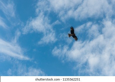 Flying falcon against blue sky background.