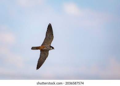 Flying falcon. Blue sky background. Eurasian Hobby. Falco subbuteo.
