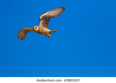 Flying Falcon. Blue sky background.