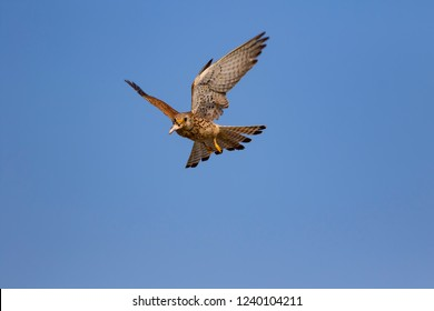 Flying falcon with its hunt. Bird: Lesser Kestrel. Falco naumanni. Blue sky background.