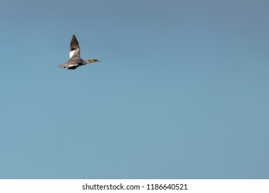 Flying female Goosander duck, Mergus Merganser, against blue skies