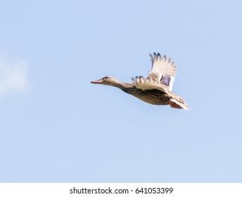 Flying female mallard duck  moving across a clear blue sky.