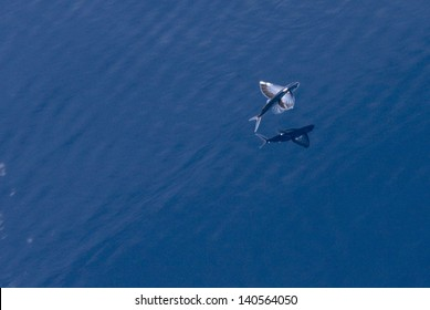 Flying fish glides over the ocean with reflection below