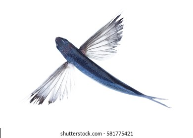 Flying fish isolated on white