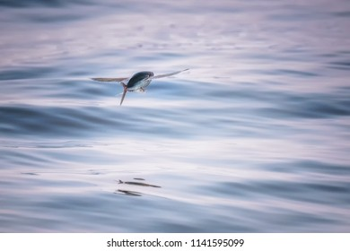 Flying fish (Scientific : Exocoetidae), a family of marine fish in the order Beloniformes class Actinopterygii, flying like a bird above the andaman sea in Pang-nga province, Thailand.