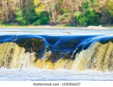 Flying fish at Ventas Rumba waterfall at Kuldiga in Kurzeme in Western Latvia. The city used to be called Goldingen.