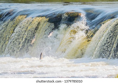 Flying fish at Ventas Rumba waterfall in Kuldiga in Kurzeme of Western Latvia. The city used to be called Goldingen.
