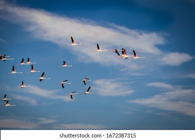 Flying flock of nice greater Flamingos with clear blue sky. Ebro River Delta Natural Park.The greater flamingo or Phoenicopterus roseus is the most widespread and largest species of the flamingo