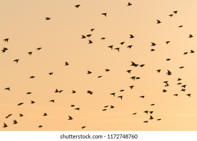 Flying flock of starlings by a colorful sky