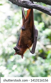 A flying fox ( bat ) hanging on a tree branch