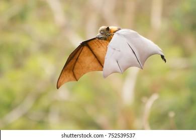 Flying Fox or Fruit Bat