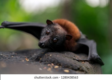 Flying fox looking over the edge of a rock