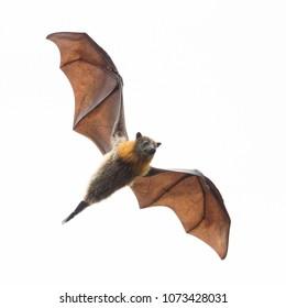 Flying Fox in Mid Air