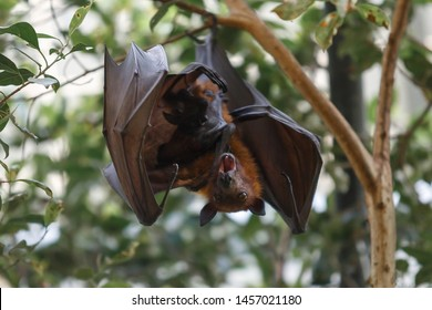 Flying fox resting on the tree, close up