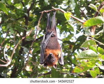 The Flying Foxes