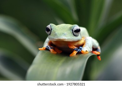 Flying frog closeup face on branch, Javan tree frog closeup image, rhacophorus reinwartii