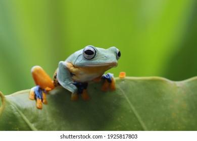 Flying frog closeup on Green leaves, Javan tree frog on green leaves, Indonesia tree frog closup