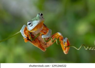 Flying frog crawls