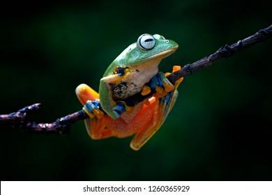 flying frog, javan tree frog, wallace frog, rhacophorus reinwardtii