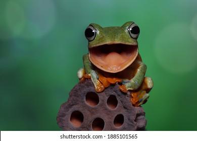 Flying frog laughing, Javan tree frog open moutn on dry bud, animal closeup
