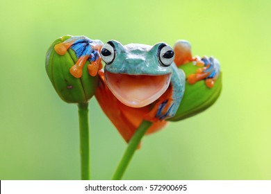 Flying frog on branch, beautiful tree frog on green leaves, rachophorus reinwardtii, Javan tree frog